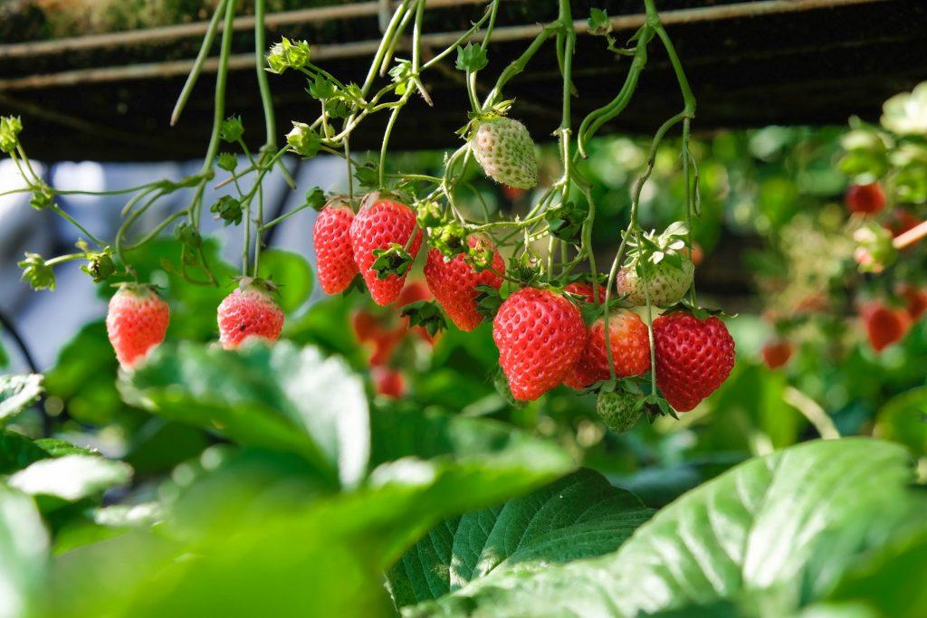 strawberries on a vine